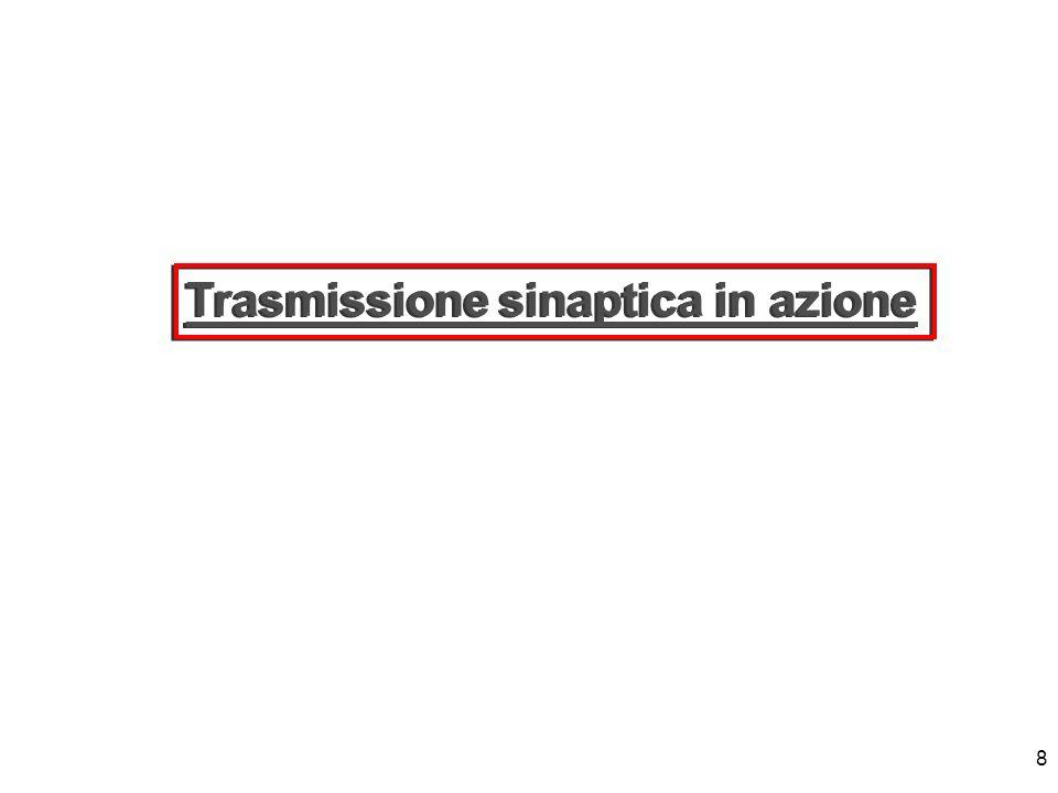8 Trasmissione sinaptica in azione