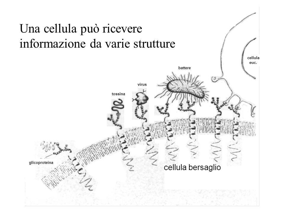 glicoproteina tossina virus battere cellula euc. Una cellula può ricevere informazione da varie strutture cellula bersaglio