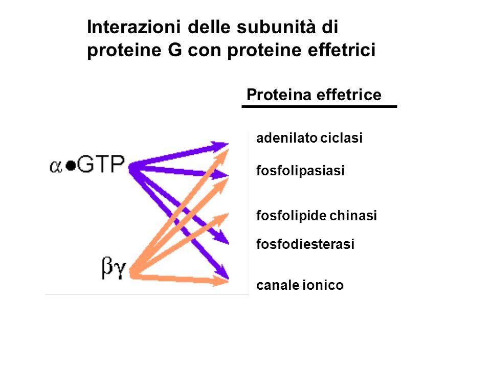 Interazioni delle subunità di proteine G con proteine effetrici adenilato ciclasi fosfolipide chinasi fosfodiesterasi canale ionico fosfolipasiasi Pro