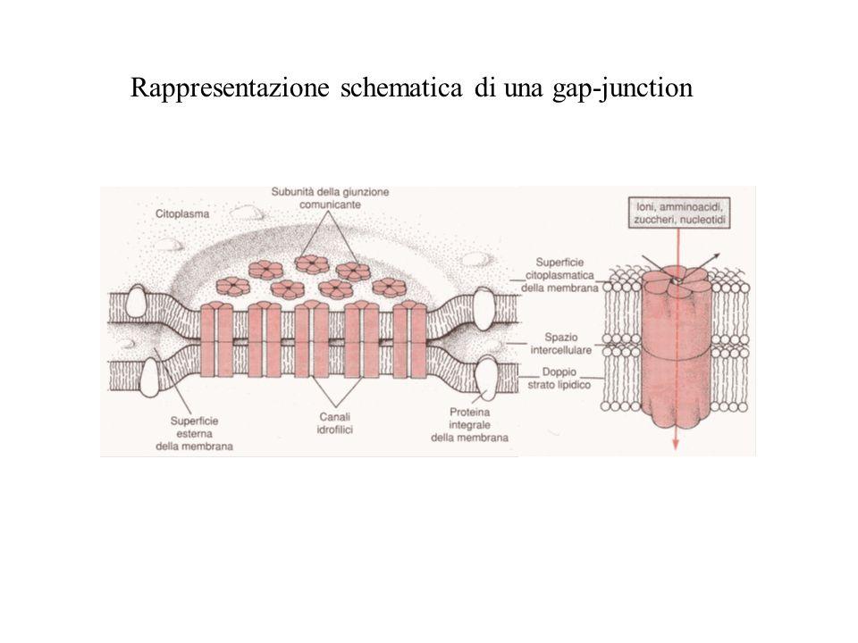 Rappresentazione schematica di una gap-junction