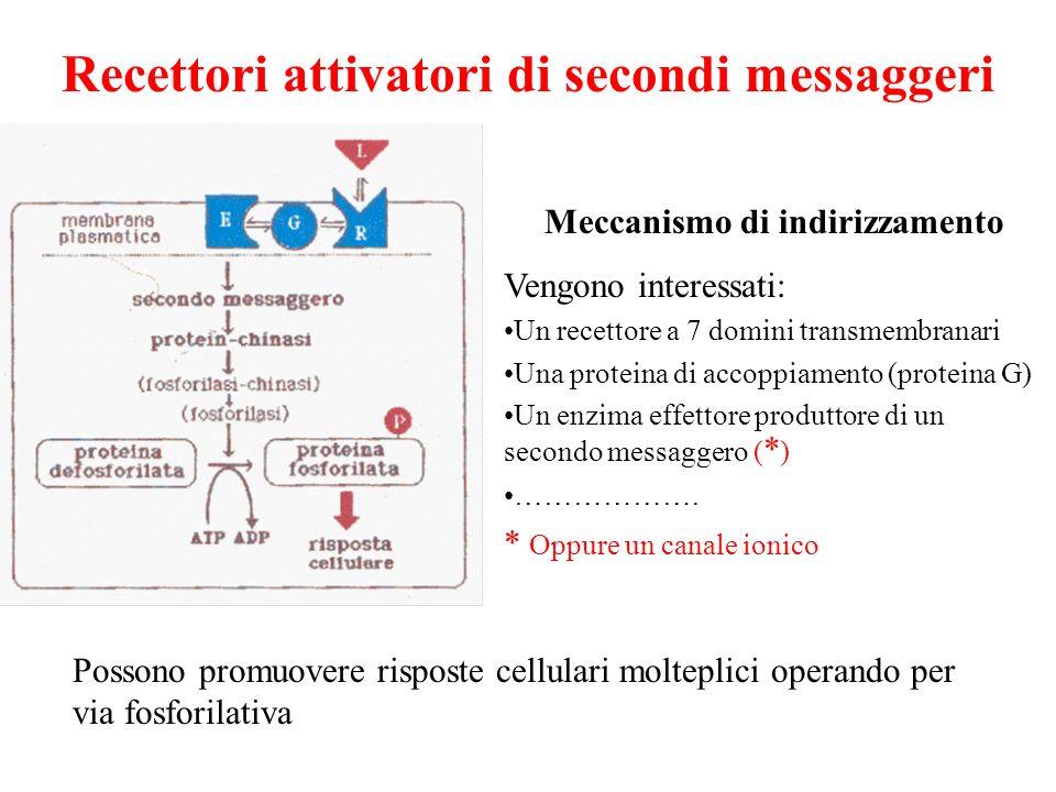 Recettori attivatori di secondi messaggeri Possono promuovere risposte cellulari molteplici operando per via fosforilativa Meccanismo di indirizzament
