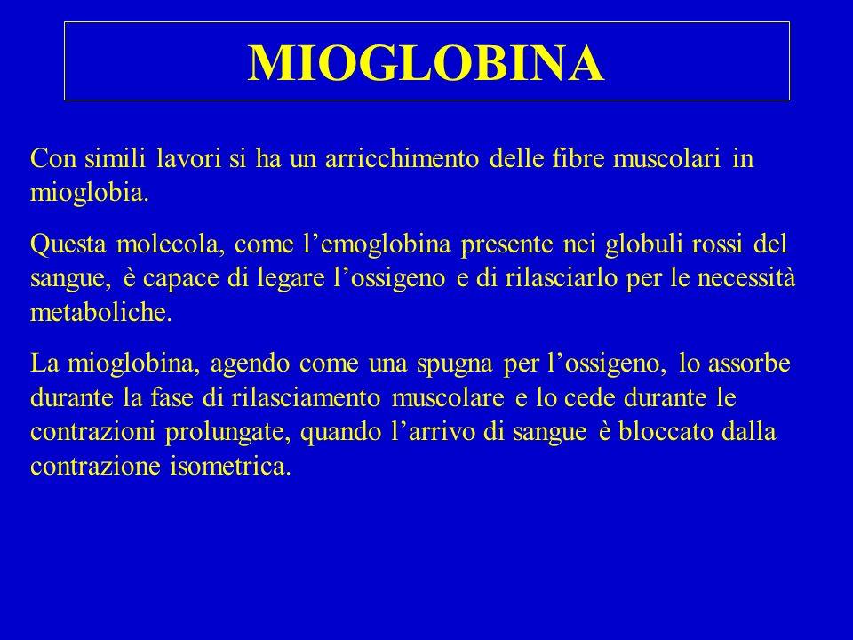 MIOGLOBINA Con simili lavori si ha un arricchimento delle fibre muscolari in mioglobia. Questa molecola, come lemoglobina presente nei globuli rossi d