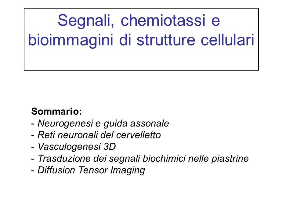 Segnali, chemiotassi e bioimmagini di strutture cellulari Sommario: - Neurogenesi e guida assonale - Reti neuronali del cervelletto - Vasculogenesi 3D - Trasduzione dei segnali biochimici nelle piastrine - Diffusion Tensor Imaging