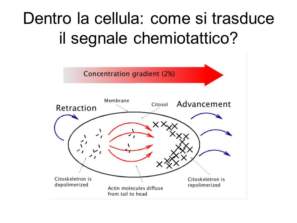 Dentro la cellula: come si trasduce il segnale chemiotattico?