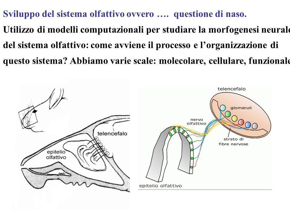 Sviluppo del sistema olfattivo ovvero ….questione di naso.