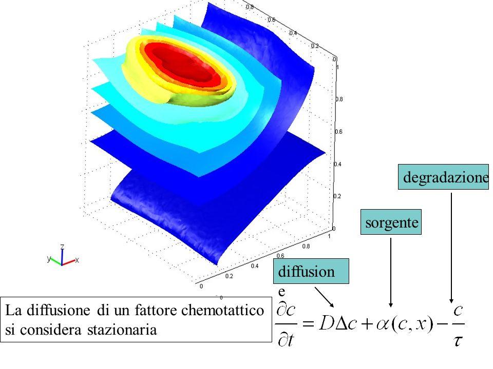 diffusion e sorgente degradazione La diffusione di un fattore chemotattico si considera stazionaria