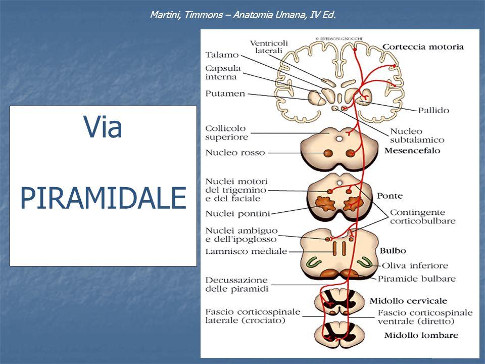 Martini, Timmons – Anatomia Umana, IV Ed. Via PIRAMIDALE