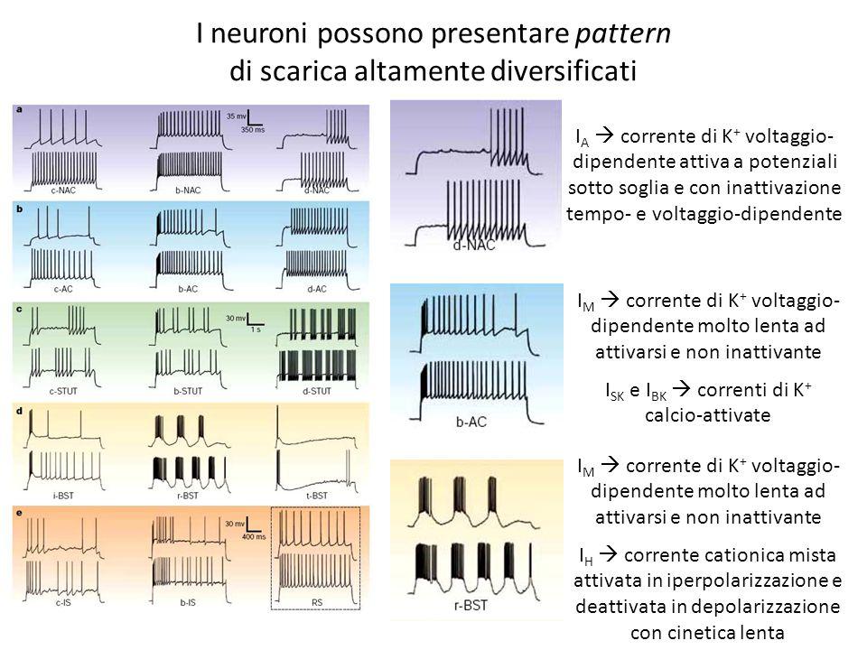 I neuroni possono presentare pattern di scarica altamente diversificati I A corrente di K + voltaggio- dipendente attiva a potenziali sotto soglia e c