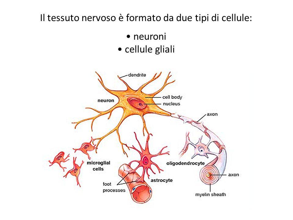 Il tessuto nervoso è formato da due tipi di cellule: neuroni cellule gliali