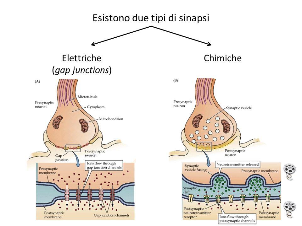 Esistono due tipi di sinapsi Elettriche (gap junctions) Chimiche
