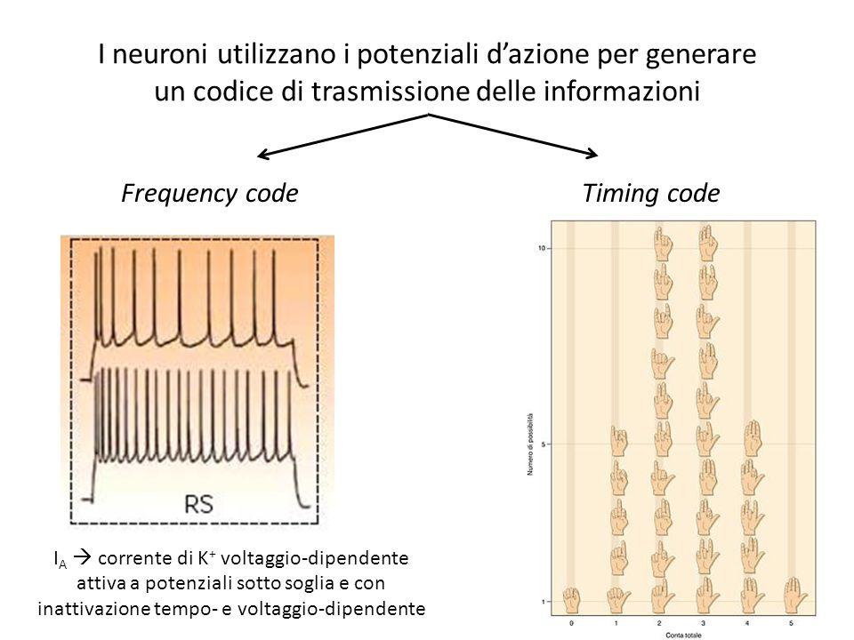 I neuroni utilizzano i potenziali dazione per generare un codice di trasmissione delle informazioni Frequency codeTiming code I A corrente di K + volt