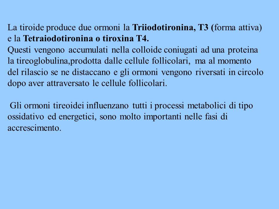La tiroide produce due ormoni la Triiodotironina, T3 (forma attiva) e la Tetraiodotironina o tiroxina T4. Questi vengono accumulati nella colloide con
