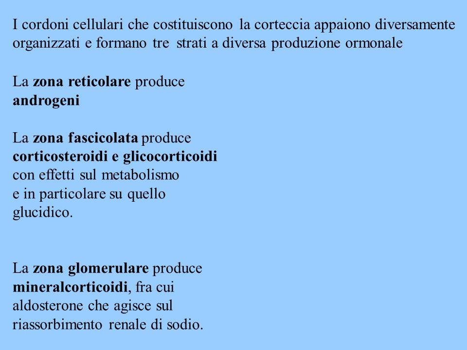 La zona reticolare produce androgeni La zona fascicolata produce corticosteroidi e glicocorticoidi con effetti sul metabolismo e in particolare su que