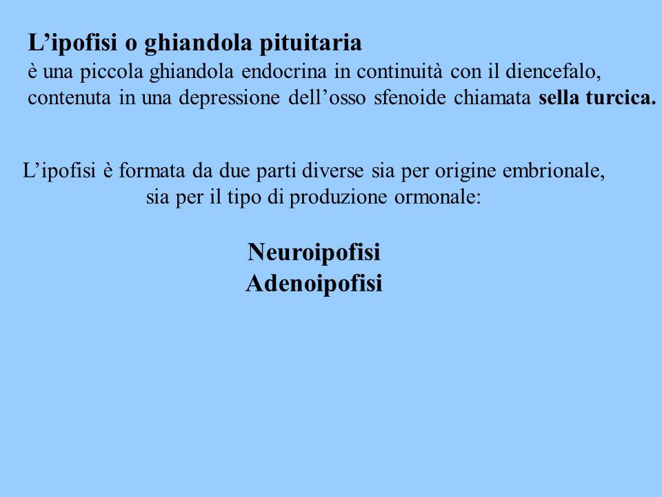 Il lopo posteriore dellipofisi o Neuroipofisi è formato da tre parti: - eminenza mediana - peduncolo dellinfundibolo - pars nervosa Lipofisi anteriore o adenoipofisi è formata da tre parti: - pars tuberalis - pars intermedia -pars distalis La parte intermedia si trova fra neuro e adenoipofisi
