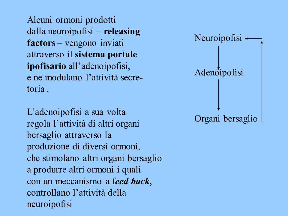 Ladenoipofisi sintetizza diversi ormoni detti tropine che regolano lattività di altre ghiandole endocrine La parte intermedia produce lormone intermedina o melanotropo che regola la sintesi e la distribuzione dei granuli di melanina nei melanofori.