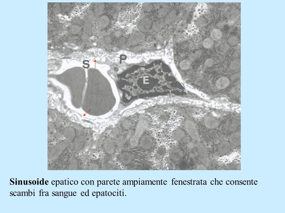 Sinusoide epatico con parete ampiamente fenestrata che consente scambi fra sangue ed epatociti.