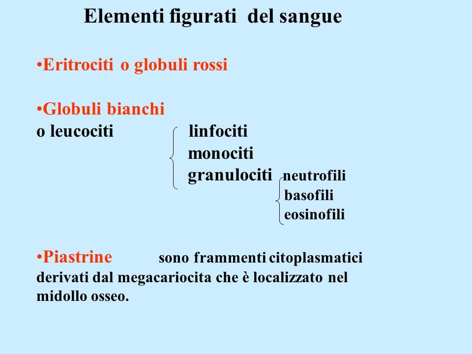 Elementi figurati del sangue Eritrociti o globuli rossi Globuli bianchi o leucociti linfociti monociti granulociti neutrofili basofili eosinofili Piastrine sono frammenti citoplasmatici derivati dal megacariocita che è localizzato nel midollo osseo.
