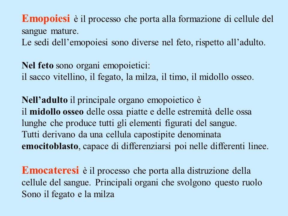 Emopoiesi è il processo che porta alla formazione di cellule del sangue mature.