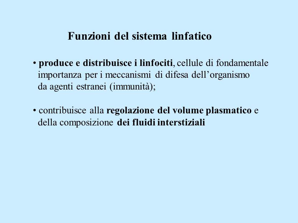 Funzioni del sistema linfatico produce e distribuisce i linfociti, cellule di fondamentale importanza per i meccanismi di difesa dellorganismo da agenti estranei (immunità); contribuisce alla regolazione del volume plasmatico e della composizione dei fluidi interstiziali