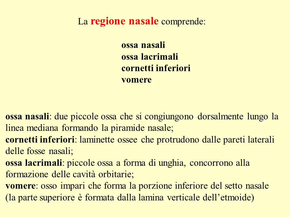 ossa nasali: due piccole ossa che si congiungono dorsalmente lungo la linea mediana formando la piramide nasale; cornetti inferiori: laminette ossee c