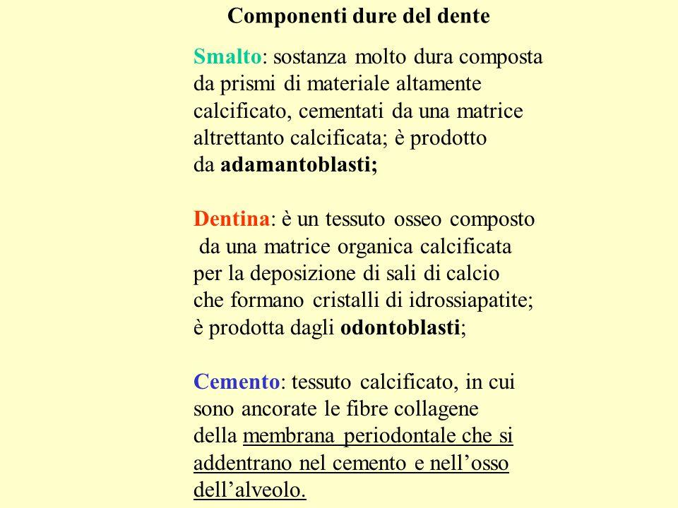 Smalto: sostanza molto dura composta da prismi di materiale altamente calcificato, cementati da una matrice altrettanto calcificata; è prodotto da ada