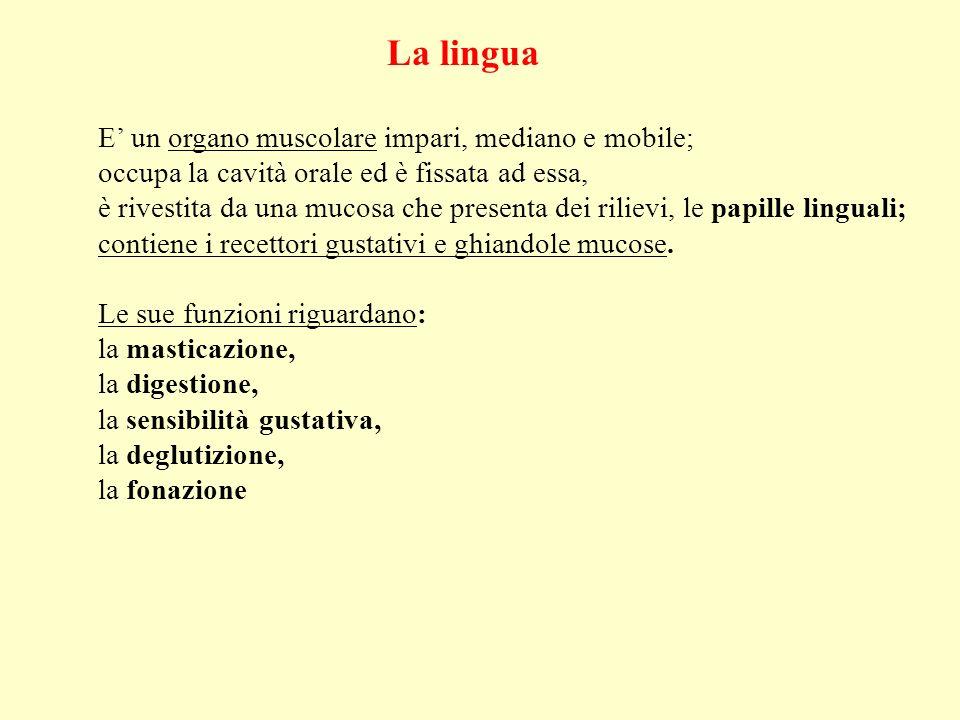 La lingua E un organo muscolare impari, mediano e mobile; occupa la cavità orale ed è fissata ad essa, è rivestita da una mucosa che presenta dei rili