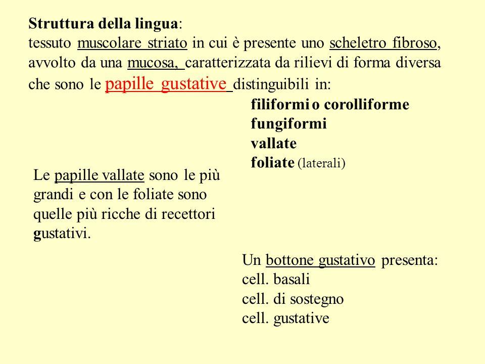 Struttura della lingua: tessuto muscolare striato in cui è presente uno scheletro fibroso, avvolto da una mucosa, caratterizzata da rilievi di forma d