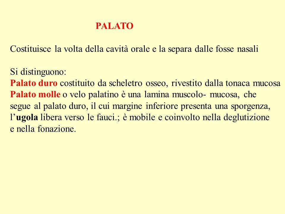 PALATO Costituisce la volta della cavità orale e la separa dalle fosse nasali Si distinguono: Palato duro costituito da scheletro osseo, rivestito dal