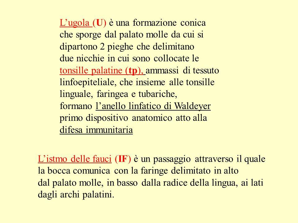 Lugola (U) è una formazione conica che sporge dal palato molle da cui si dipartono 2 pieghe che delimitano due nicchie in cui sono collocate le tonsil