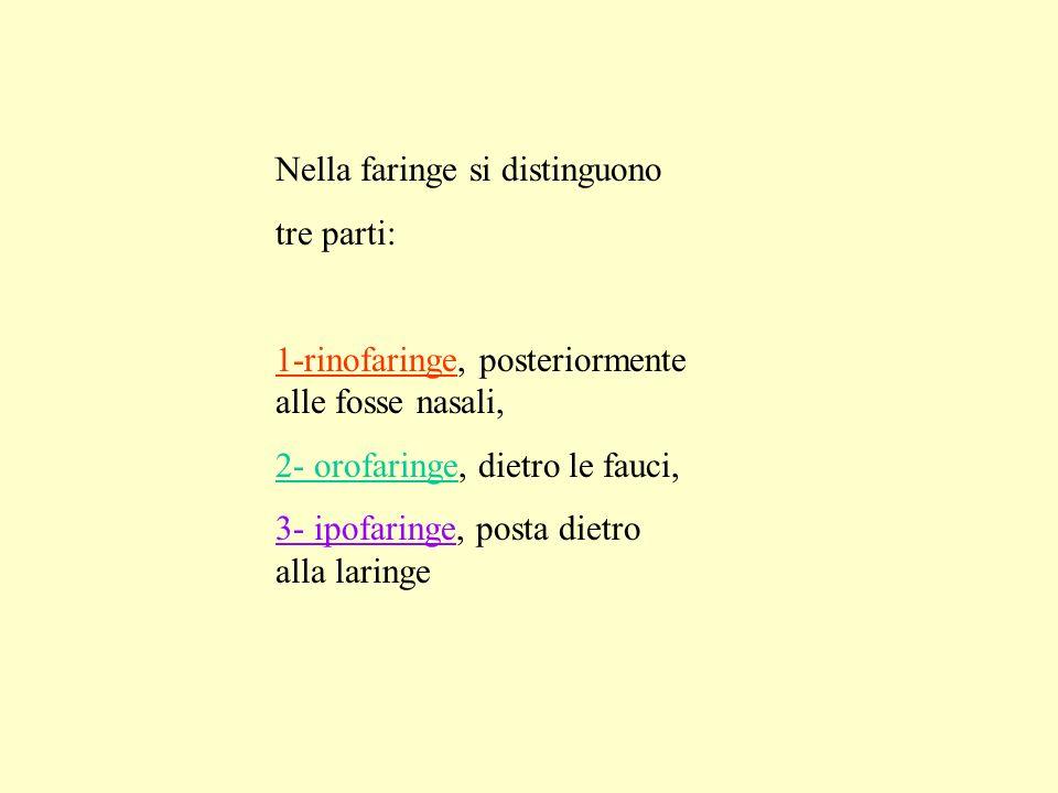 Nella faringe si distinguono tre parti: 1-rinofaringe, posteriormente alle fosse nasali, 2- orofaringe, dietro le fauci, 3- ipofaringe, posta dietro a