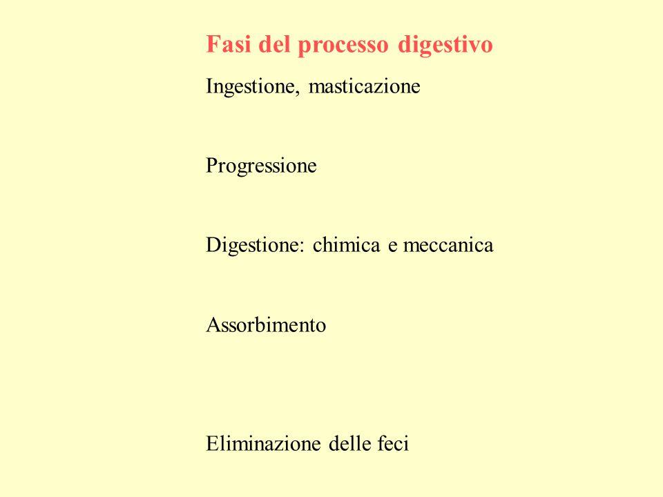 Fasi del processo digestivo Ingestione, masticazione Progressione Digestione: chimica e meccanica Assorbimento Eliminazione delle feci