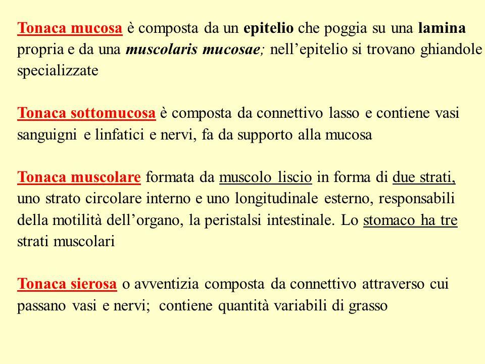 La tonaca mucosa è la componente più variabile delle tonache, in relazione alla funzione del segmento considerato: Protezione Secrezione Assorbimento