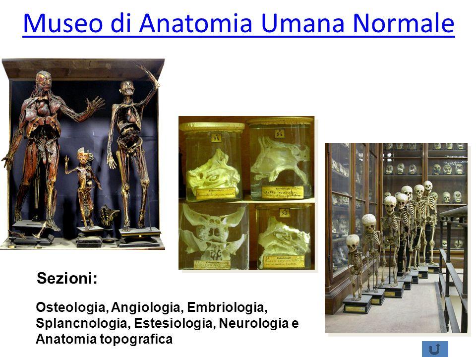 Museo di Anatomia Umana Normale Sezioni: Osteologia, Angiologia, Embriologia, Splancnologia, Estesiologia, Neurologia e Anatomia topografica