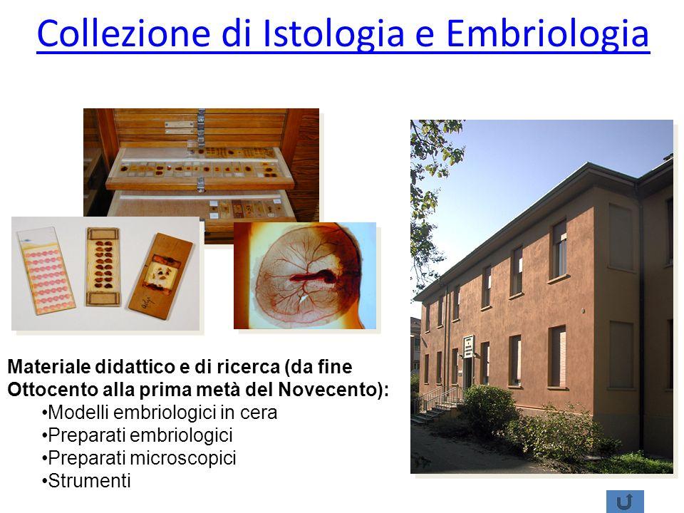 Collezione di Istologia e Embriologia Materiale didattico e di ricerca (da fine Ottocento alla prima metà del Novecento): Modelli embriologici in cera