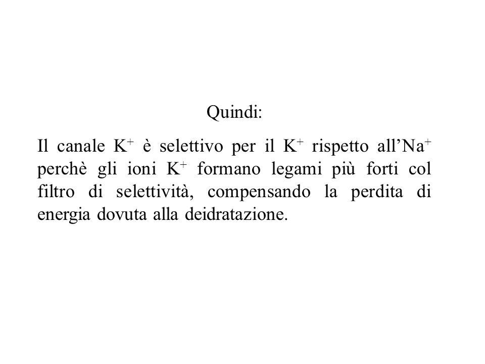 La selettività di un canale K + nei confronti del K + rispetto al Na + Gli ioni K +, idrati in soluzione, perdono le molecole di H 2 O quando passano