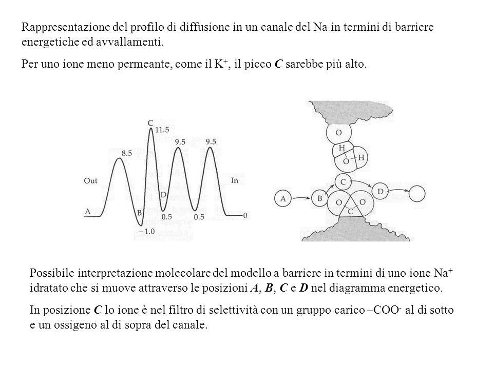 Lipotetico filtro di selettività del canale del Na + è mostrato assieme al profilo del Na + legato ad una molecola dacqua. Nei punti in cui i profili