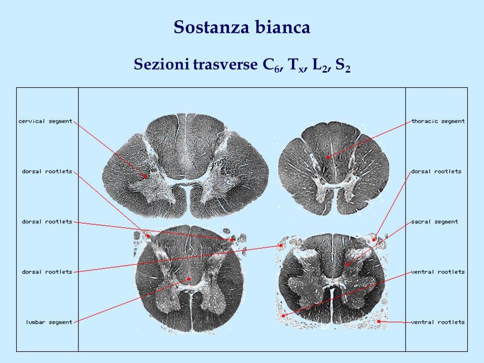 Sostanza bianca Sezioni trasverse C 6, T x, L 2, S 2