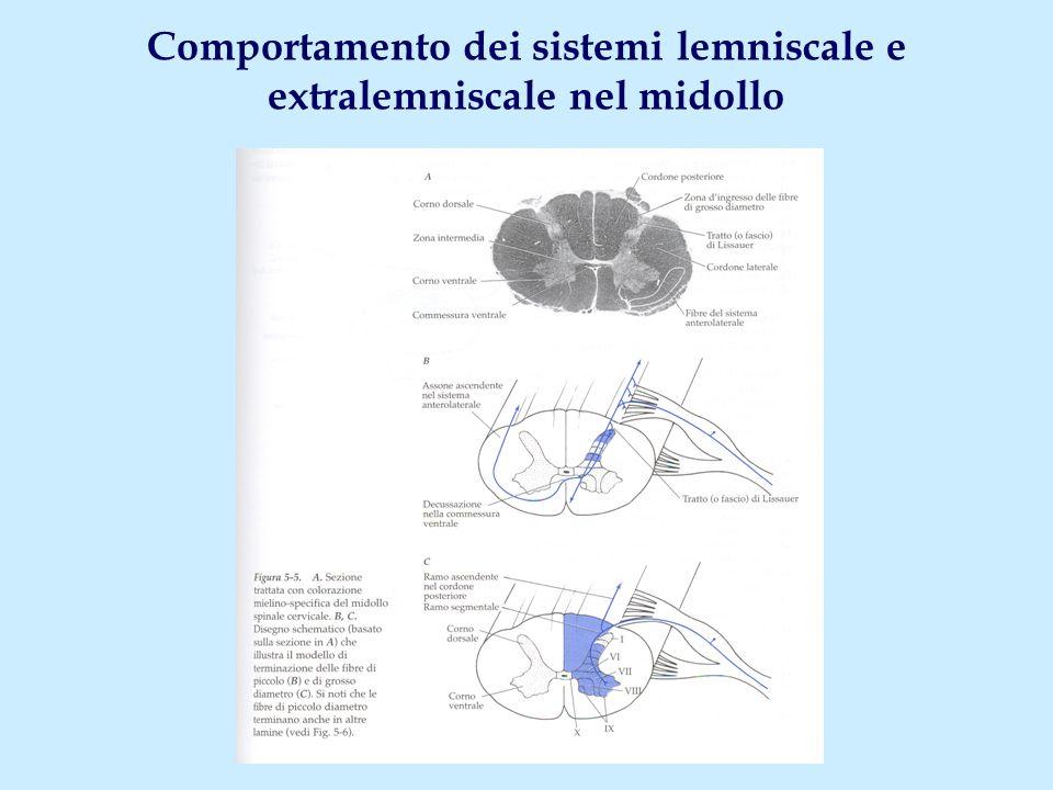 Comportamento dei sistemi lemniscale e extralemniscale nel midollo