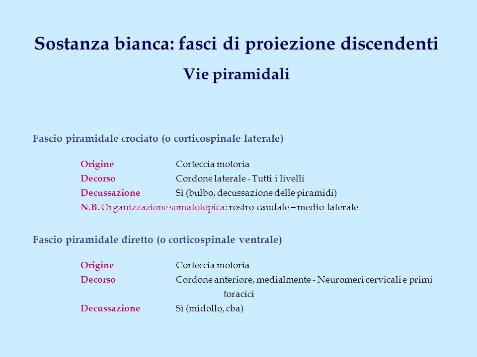 Sostanza bianca: fasci di proiezione discendenti Vie piramidali Fascio piramidale crociato (o corticospinale laterale) Origine Corteccia motoria Decor