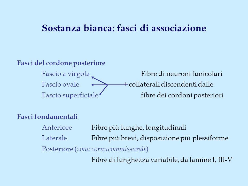 Sostanza bianca: fasci di associazione Fasci del cordone posteriore Fascio a virgola Fibre di neuroni funicolari Fascio ovale + collaterali discendent