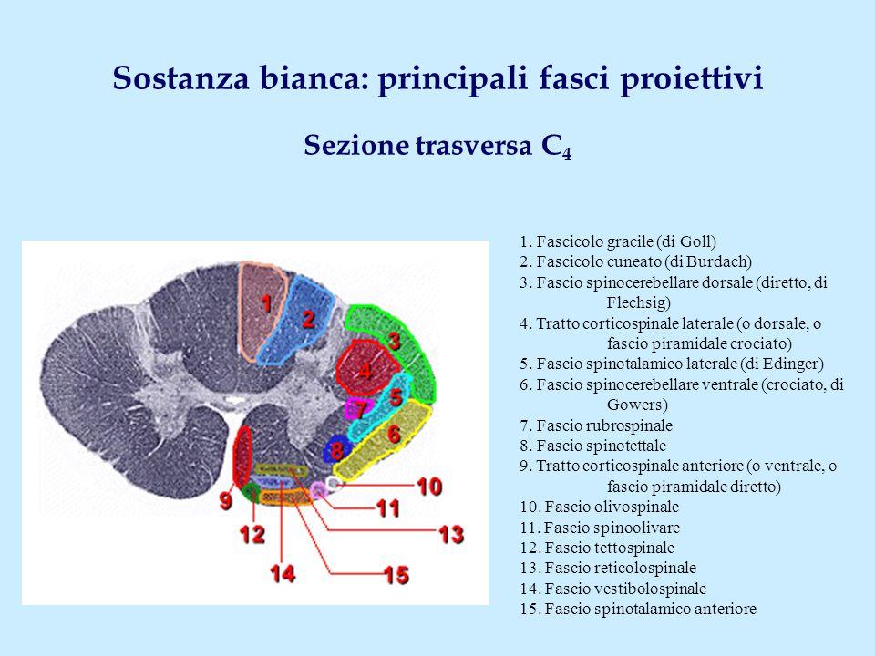 Fascio spinocerebellare dorsale (diretto, di Flechsig) Origine Colonna dorsale di Clarke - C 8 -L 3 Sede Cordone laterale - C 1 -L 3 Decussazione No Terminazione Corteccia vermiana cerebellare ( via peduncolo cerebellare inf.) N.B.