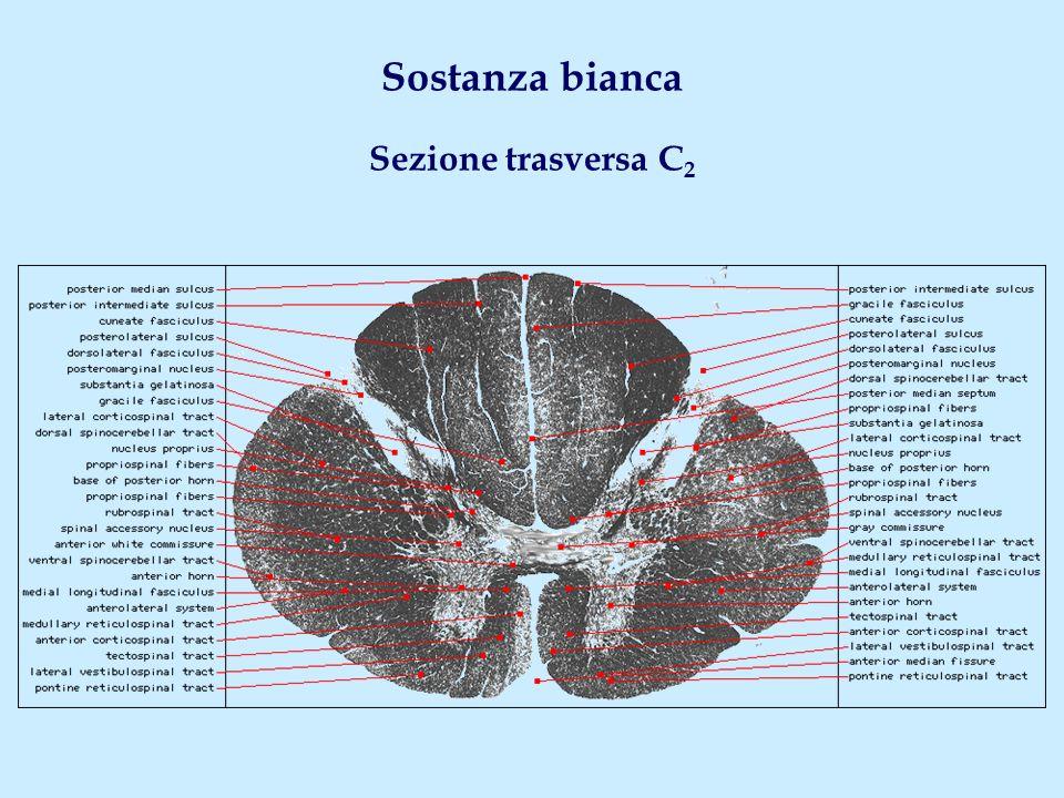 … e sistemi mediali Fascicolo uncinato Fascio olivospinale Fascio reticolospinale Fascio vestibolospinale Fascio tegmentospinale Fascio tettospinale Fascicolo longitudinale mediale Fascio piramidale diretto