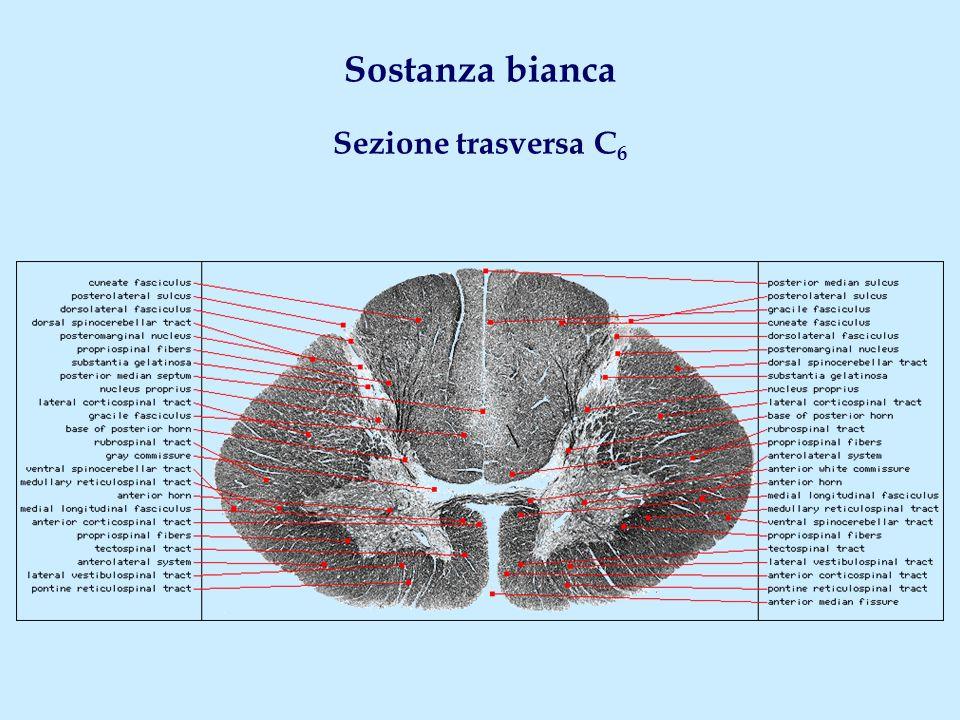 Fascio spinoreticolare Origine Corno posteriore - Tutti i livelli Sede Cordone anterolaterale - Tutti i livelli Decussazione No Terminazione Formazione reticolare laterale bulbare cervelletto; tronco encefalico; corteccia (diffusamente) Fascio spinovestibolare Origine Corno posteriore - Prev.