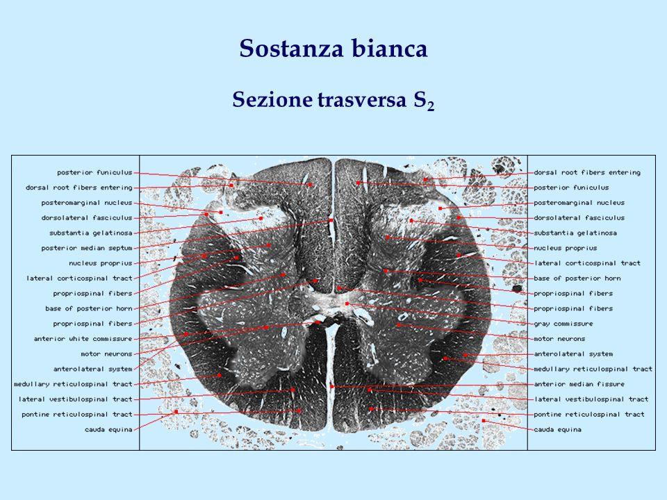 Fascicolo uncinato Origine Nucleo del tetto cerebellare ( via peduncolo cerebellare sup.) Decorso Col fascio vestibolospinale - Solo neuromeri cervicali alti Decussazione Sì (commessura cerebellare) Fascio olivospinale Origine Oliva bulbare Decorso Cordone anterolaterale (col fascio spinoolivare) - Principalmente neuromeri cervicali Vie extrapiramidali a partenza bulbo-pontina (I)