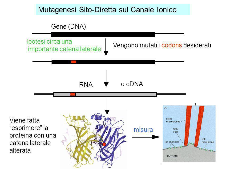 Viene fatta esprimere la proteina con una catena laterale alterata Gene (DNA) Ipotesi circa una importante catena laterale Vengono mutati i codons des