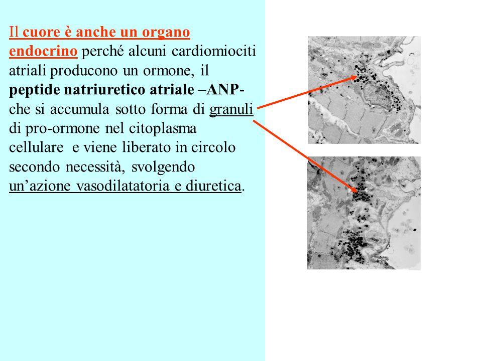 Il cuore è anche un organo endocrino perché alcuni cardiomiociti atriali producono un ormone, il peptide natriuretico atriale –ANP- che si accumula so