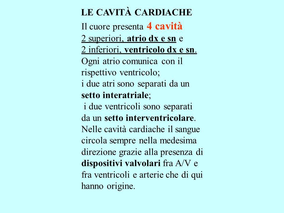 LE CAVITÀ CARDIACHE Il cuore presenta 4 cavità 2 superiori, atrio dx e sn e 2 inferiori, ventricolo dx e sn. Ogni atrio comunica con il rispettivo ven