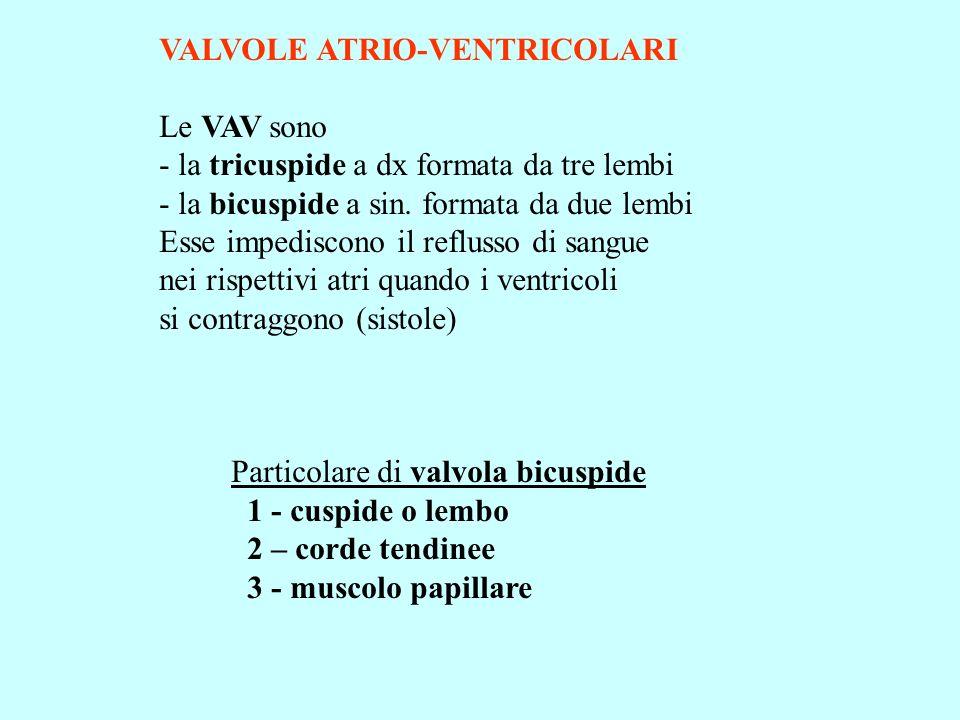 VALVOLE ATRIO-VENTRICOLARI Le VAV sono - la tricuspide a dx formata da tre lembi - la bicuspide a sin. formata da due lembi Esse impediscono il reflus