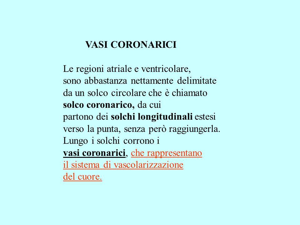 VASI CORONARICI Le regioni atriale e ventricolare, sono abbastanza nettamente delimitate da un solco circolare che è chiamato solco coronarico, da cui partono dei solchi longitudinali estesi verso la punta, senza però raggiungerla.