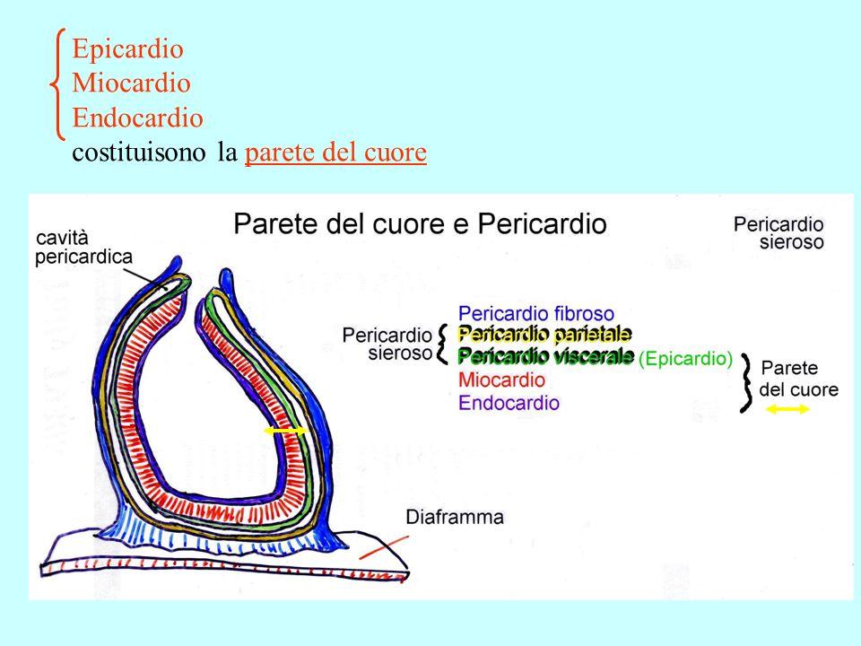 Epicardio Miocardio Endocardio costituisono la parete del cuore